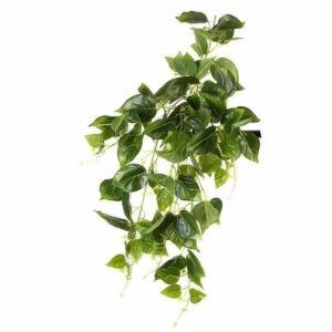 צמח גולש מסוג פילו