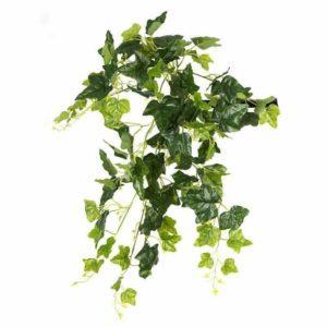 צמח גולש מסוג קיסוס סוג קצר