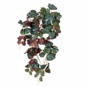 צמח גולש מסוג ביגוניה אדמדמה