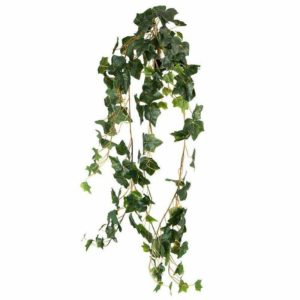 צמח גולש מסוג קיסוס אנגלי