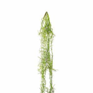 צמח גולש דמוי צמחי אוויר