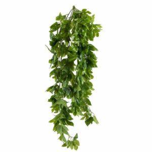 צמח גולש גפסנית