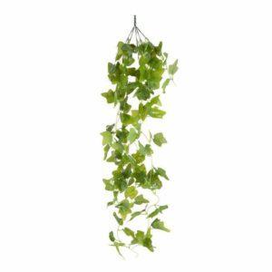 צמח גולש מסוג קיסוס