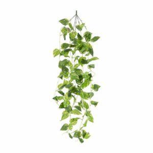 צמח פוטוס גולש