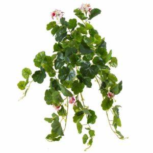 צמח גולש מסוג גרניום עם פריחה ורודה
