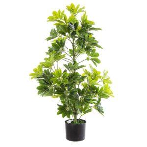 צמח שיפלרה  מגיע עומד בעציץ דקורטיבי